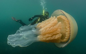 Divers swim with 'giant' jellyfish off coast of Cornwall