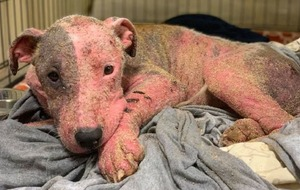 Dog on the mend after beind found buried alive, swollen and sunburned