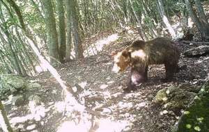 Fans in Italy back brown bear to elude captivity