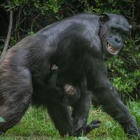 Endangered chimpanzee born at zoo