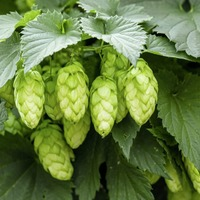 Raise a glass! How bitter hops in beer boosts memory