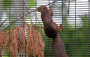 Lurgan primary school helping save the red squirrel