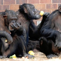 Chimps 'recall where food is hidden, indicating similarity with humans'