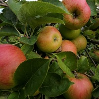 One apple carries about 100 million bacteria, researchers say