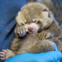'Adorable and perfect' red panda cub born at zoo