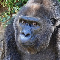 Trudy, believed to be oldest gorilla in captivity, dies aged 63