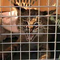 Cop trying to rescue kitten outside Burger King surprised to find it's a bobcat