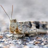 Las Vegas restaurant serves up grasshopper pizza as plague sweeps city