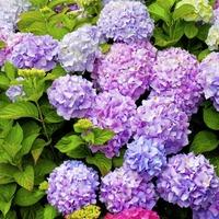 The Casual Gardener: Hydrangeas have a certain je ne sais quoi