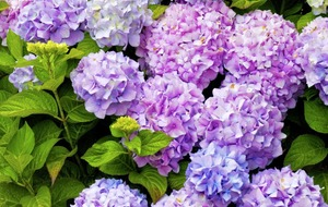 The Casual Gardener: Hydrangeas have a certain je ne sais quoi