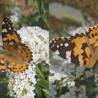 Thousands of painted lady butterflies spotted in July as UK experiences 'influx'