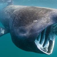 Secret lives of basking sharks caught on autonomous underwater camera