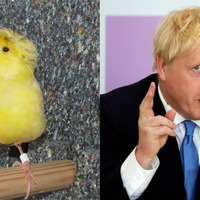 Lost canary nicknamed Boris due to fluffy 'golden hair'
