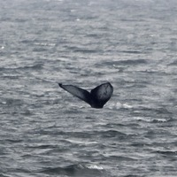 Citizen scientists track humpback whale travels with help of social media