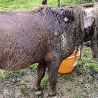 Miniature pony covered in dog bites and with flesh rotting found on Cork street