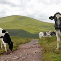 Thousands of bugs discovered in cows stomachs 'could improve meat and dairy'