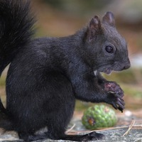 Black squirrels 'caused by greys interbreeding'