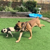 Fraser the dog overcomes his fears with the help of little pug pal Pancake