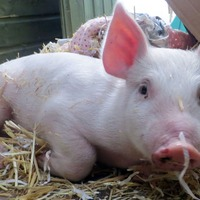 Pig hearts could be transplanted into humans within three years – report