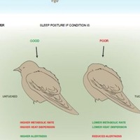 Some birds risk their lives for a good nap, scientists find