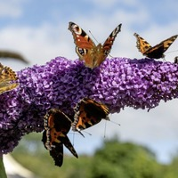 Take on Nature: The light of the Gods and how there's been a surge in painted ladies