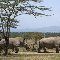 Extracted eggs could help northern white rhino escape extinction