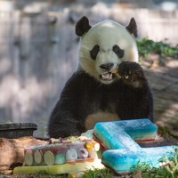Panda celebrates fourth birthday with frozen cake
