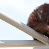 Orangutans 'could hold key to how human speech evolved'