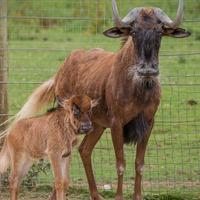 Rare baby wildebeest born at Newquay Zoo
