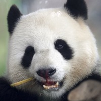 Berlin zoo confirms panda pregnancy with ultrasound footage
