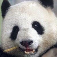 Berlin zoo celebrates Germany's first panda cub births