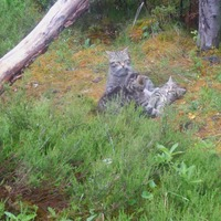 Rare wildcats born at wildlife park