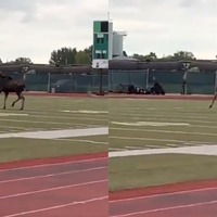 Moose released into the wild after wandering on to US university campus