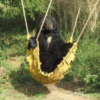 Bear climbs into hammock to sunbathe