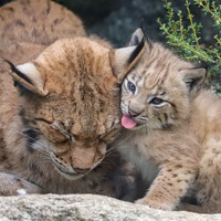 'Extremely playful' lynx kitten born at Newquay Zoo
