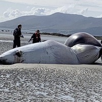 Minke whale carcass washes up on Tyrella Beach