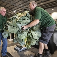 In Pictures: Colossal cabbages and massive marrows in battle for giant veg prize