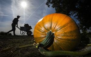 In Video: Pumpkin harvest begins for Halloween