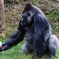 Gorilla brushes up ball skills ahead of Rugby World Cup