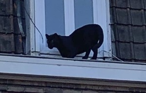 Wandering panther rescued from roof in northern France