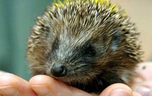 Captain delays flight to avoid prickly situation for baby hedgehog