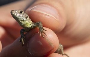 Britain's rarest lizard species released into wild in Hampshire