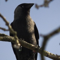 Jackdaws use social learning to warn each other about 'dangerous' humans