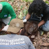Orangutan rescued after 'freeing himself from snare'