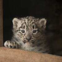 Snow leopard cubs born in the Highlands