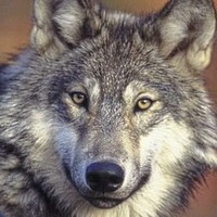 Call to bring back wolves in Ireland rejected