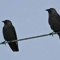 'Mob mentality rules jackdaw flocks'