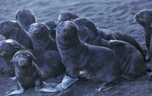 Giving birth on a live volcano helps boost numbers of struggling seal species