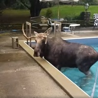 Moose trapped in swimming pool saved by creative rescuers