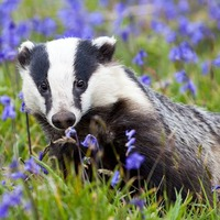Badger culling 'could be making problem of tuberculosis in cattle worse'